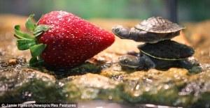 strawberry-turtles
